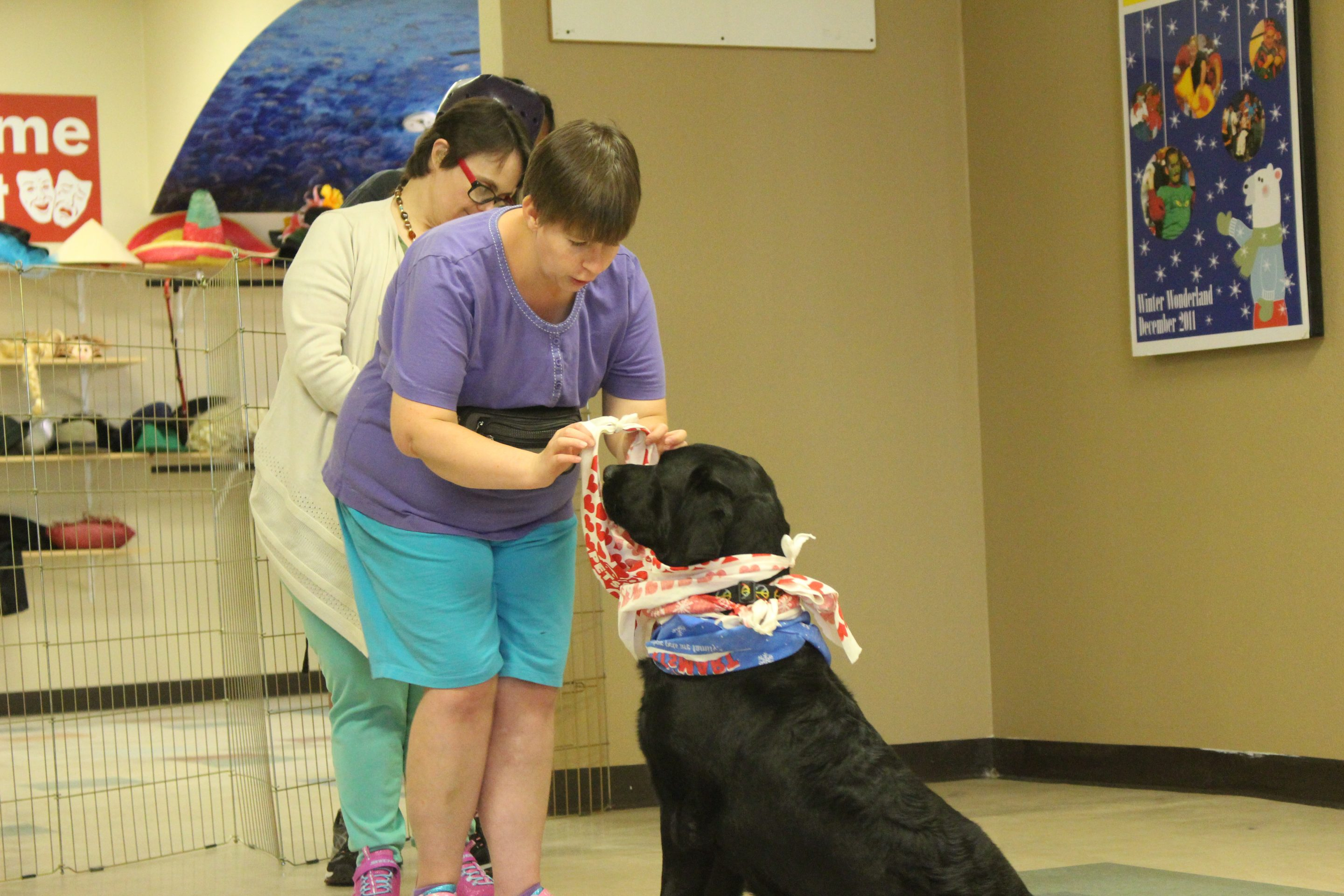 A woman puts a red and white bandana around a black Labrador's head. He is wearing several other colorful bandanas.